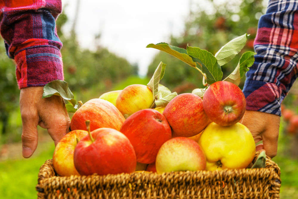Fruit-picking vacations across India