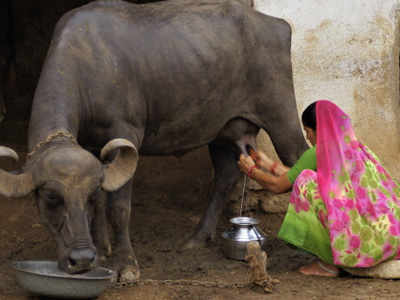 Why Drinking Cow S Milk Is Ok
