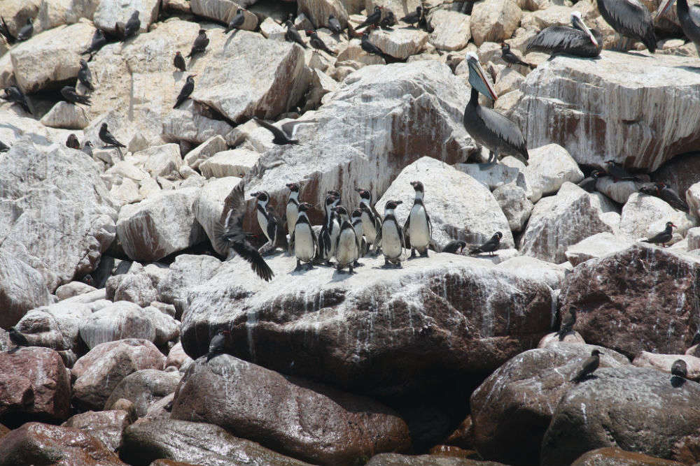 Make friends with penguins at Ballestas Islands
