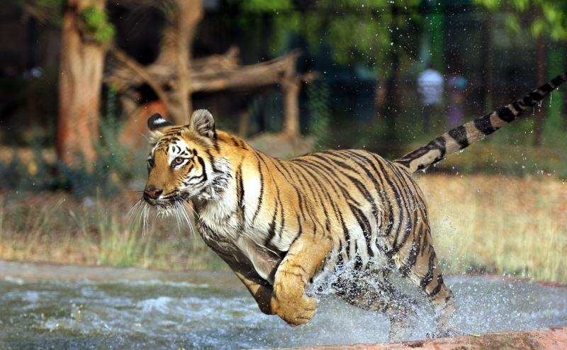 Tiger in pilibhit tiger turns up near pilibhit court - Show me a picture of the tiger ...