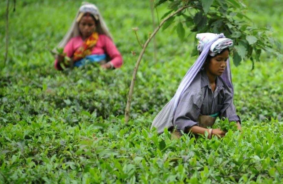the tea industry in india since Introduction: tea industry in india has occurred since the late 1990s, but generally tea exports from india have been on a declining.