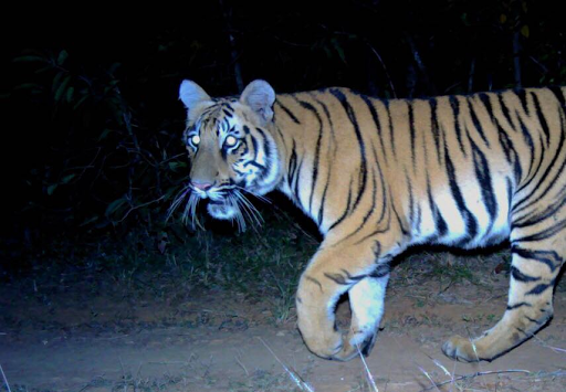 Shoot-at-sight order remains for Brahmapuri's maneating tigress