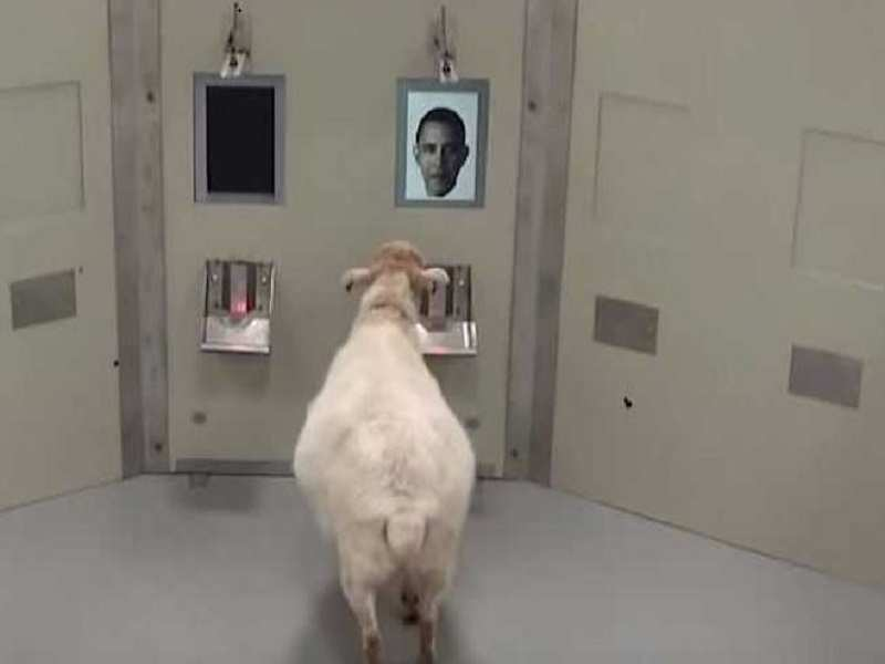 Sheep trained to recognise Emma Watson, Barrack Obama - Times of India