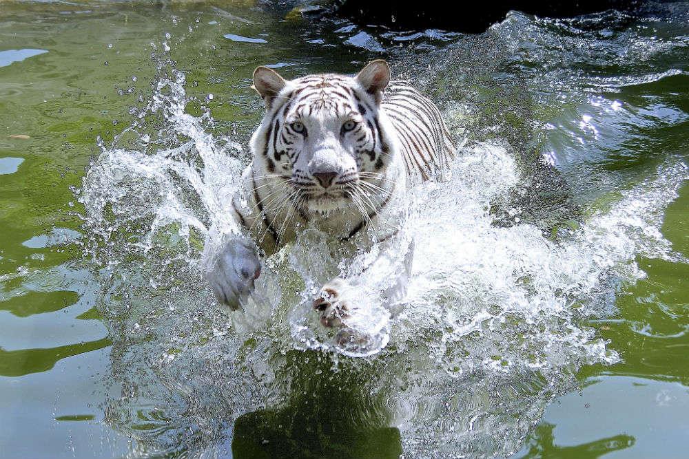 World's first White Tiger Safari opens in Madhya Pradesh