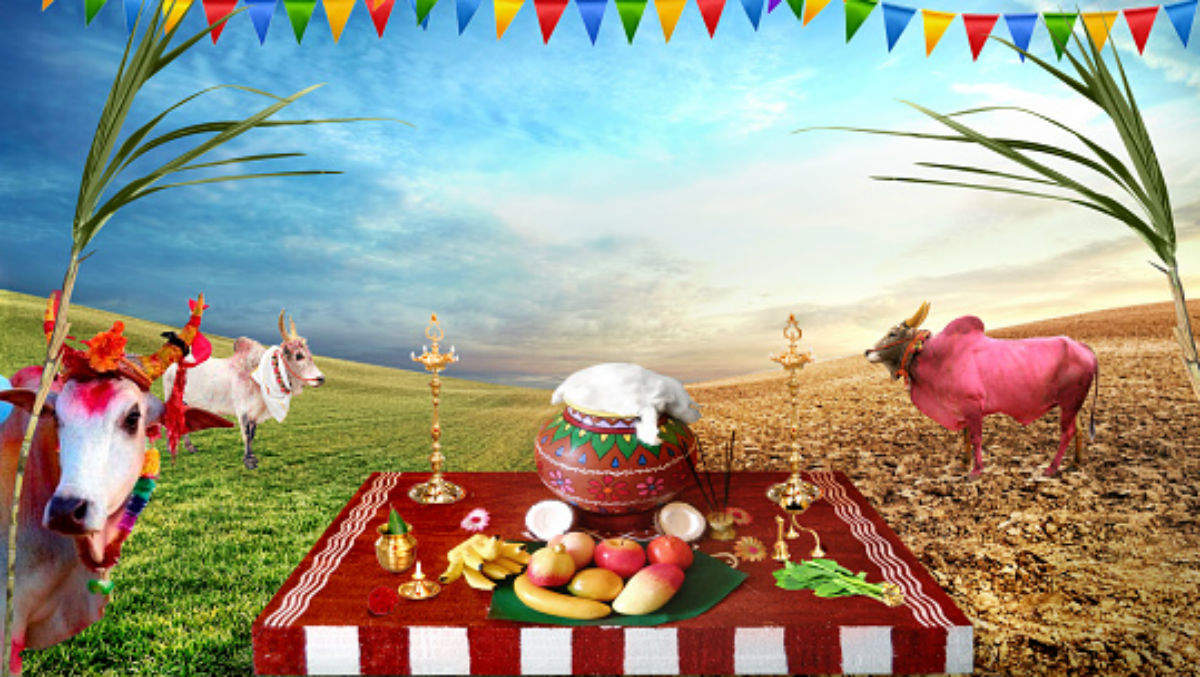Pongal 2018: know what makes this multi-day harvest festival special