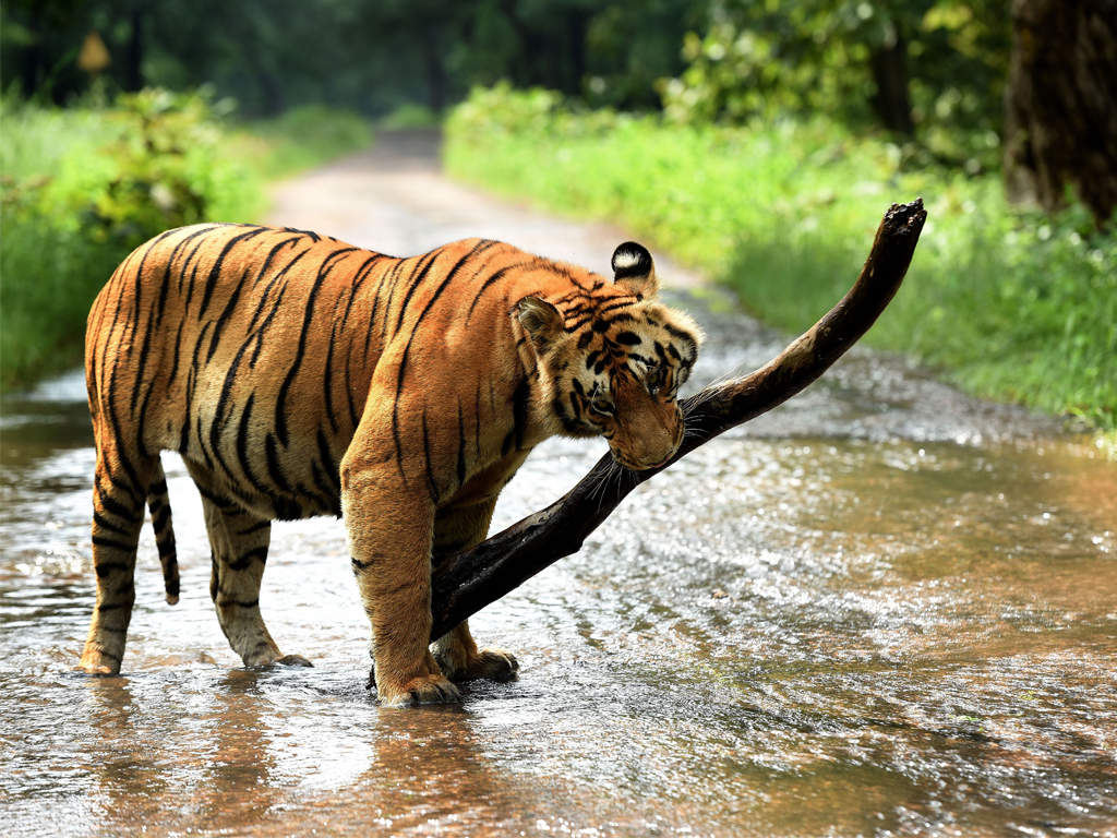 Image result for encroachment in tiger reserve