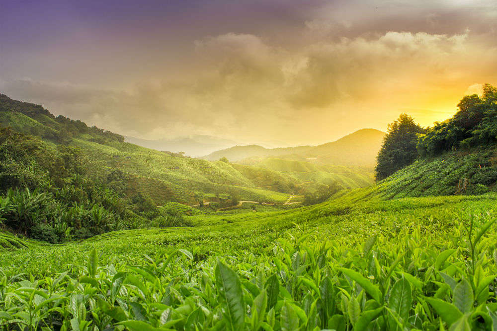 Uttarakhand government takes to tea cultivation to boost tourism