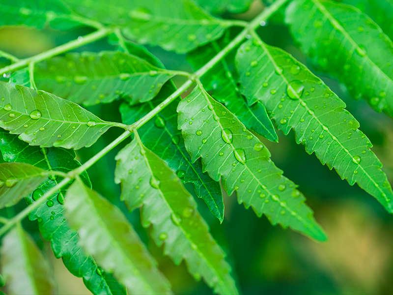 Image result for eating neem