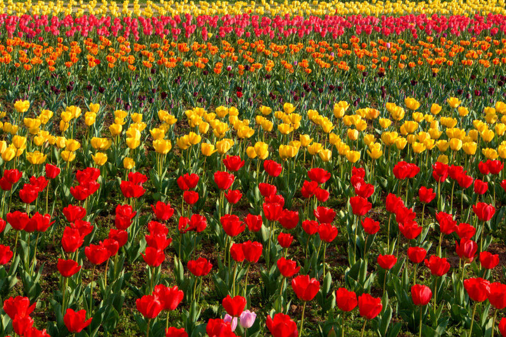 Tulip Garden in Srinagar likely to see a riot of more than million colours this season