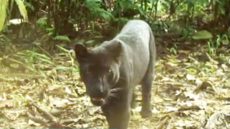 rare-black-panther-spotted-in-odishas-hemgir-forest-range