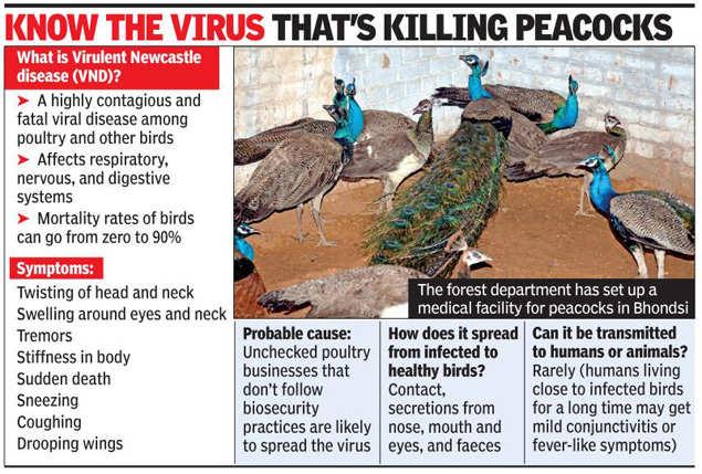 Peacocks: Newcastle virus kills 22 peacocks in Gurugram