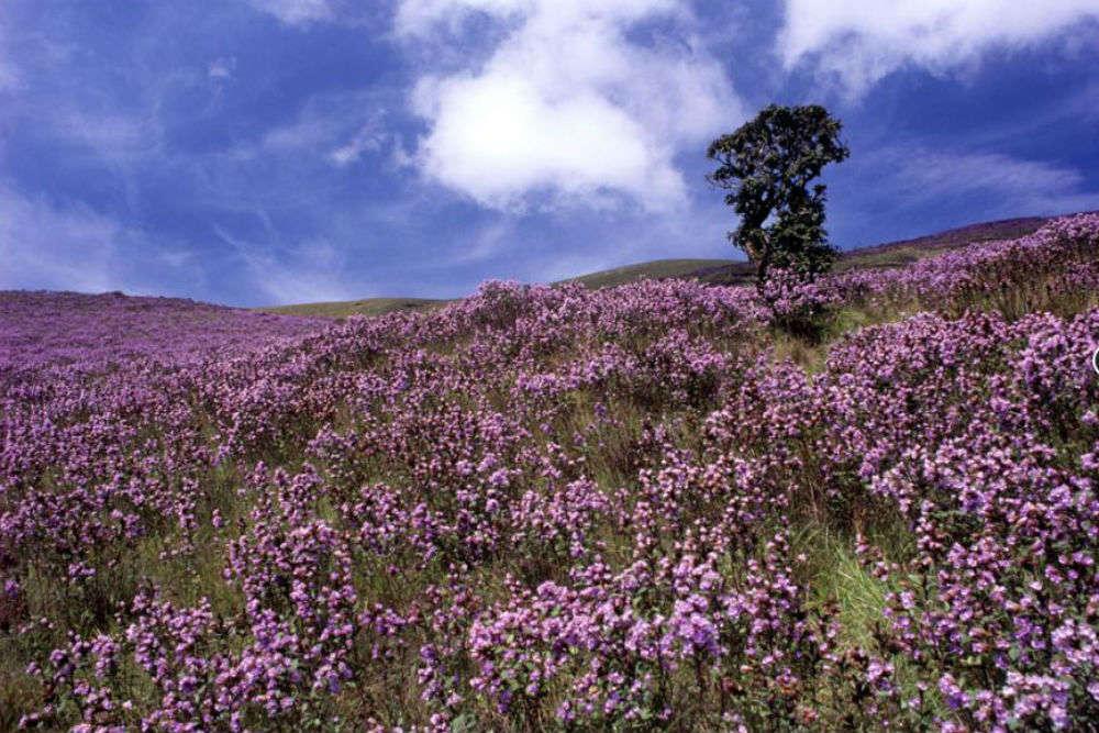 Neelakurinji flower bloom to soon happen in Munnar