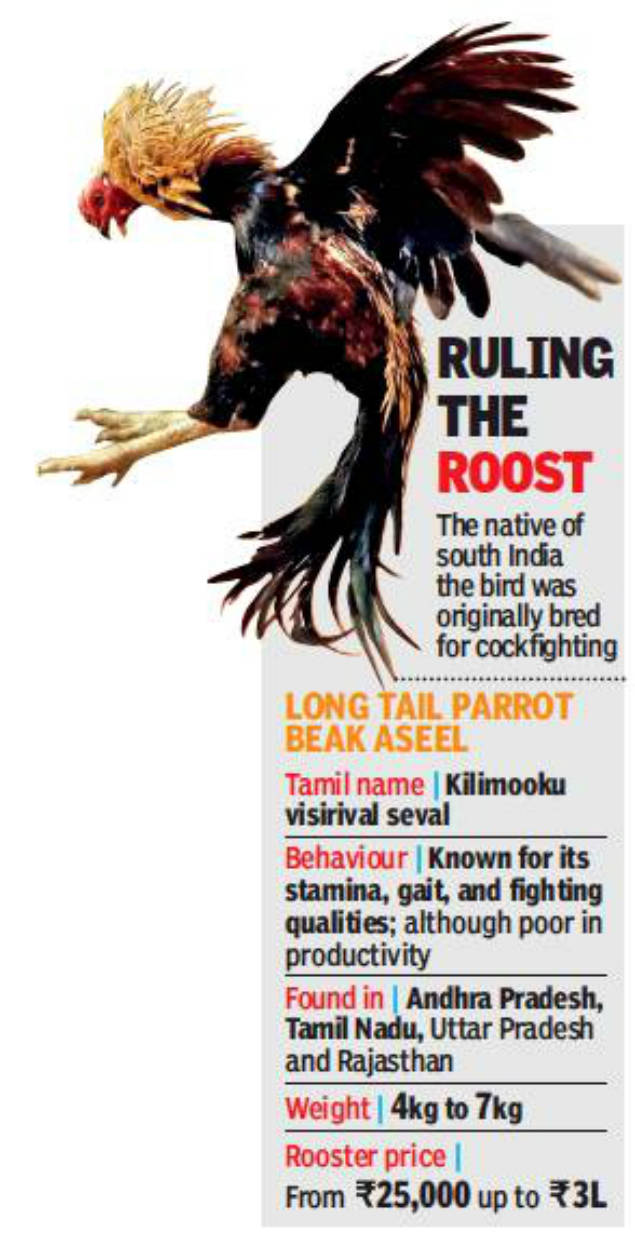 cockfighting: Fighter cock to show bird: Native roosters