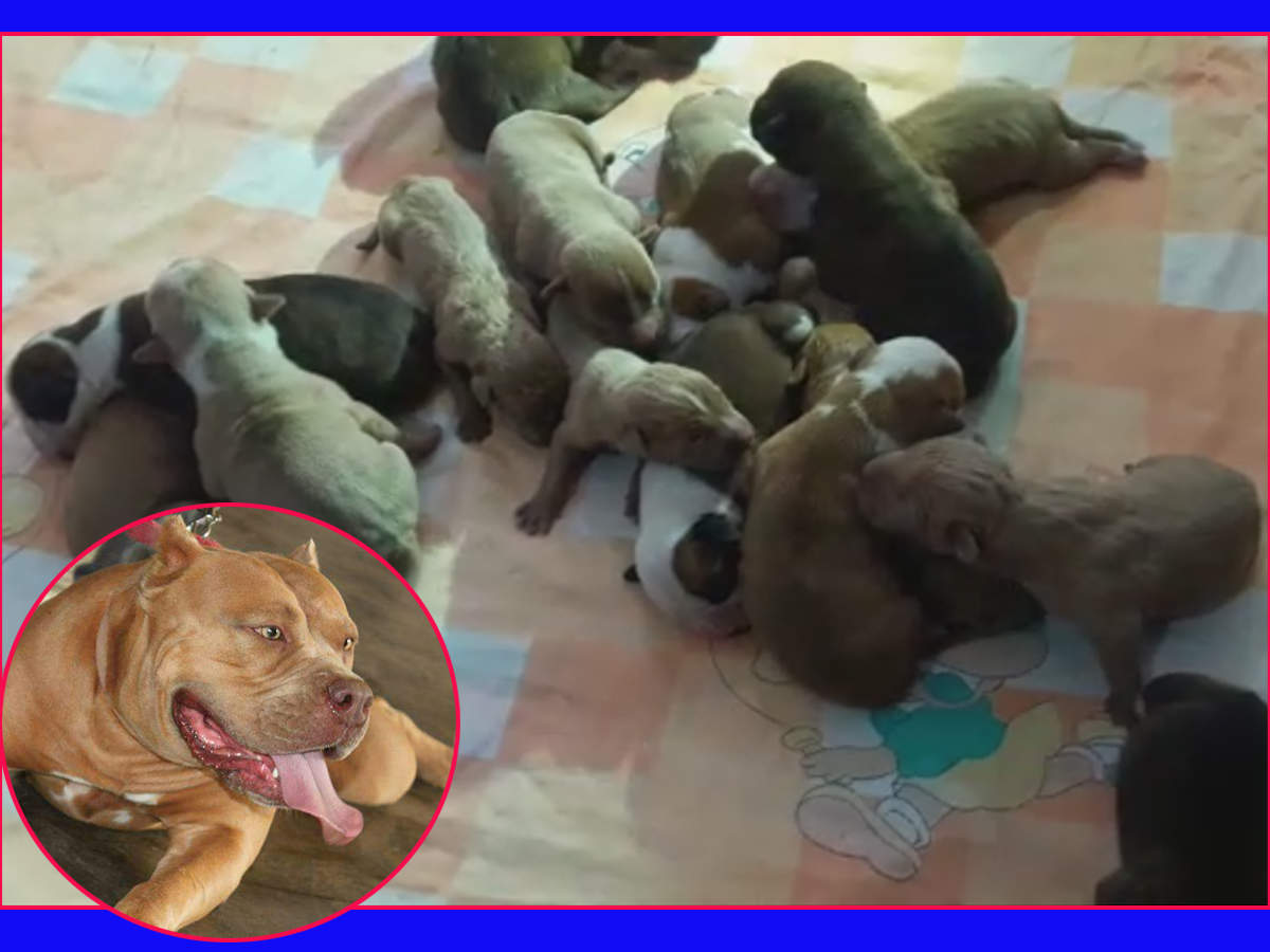 American pitbull delivers 21 puppies in Bengaluru