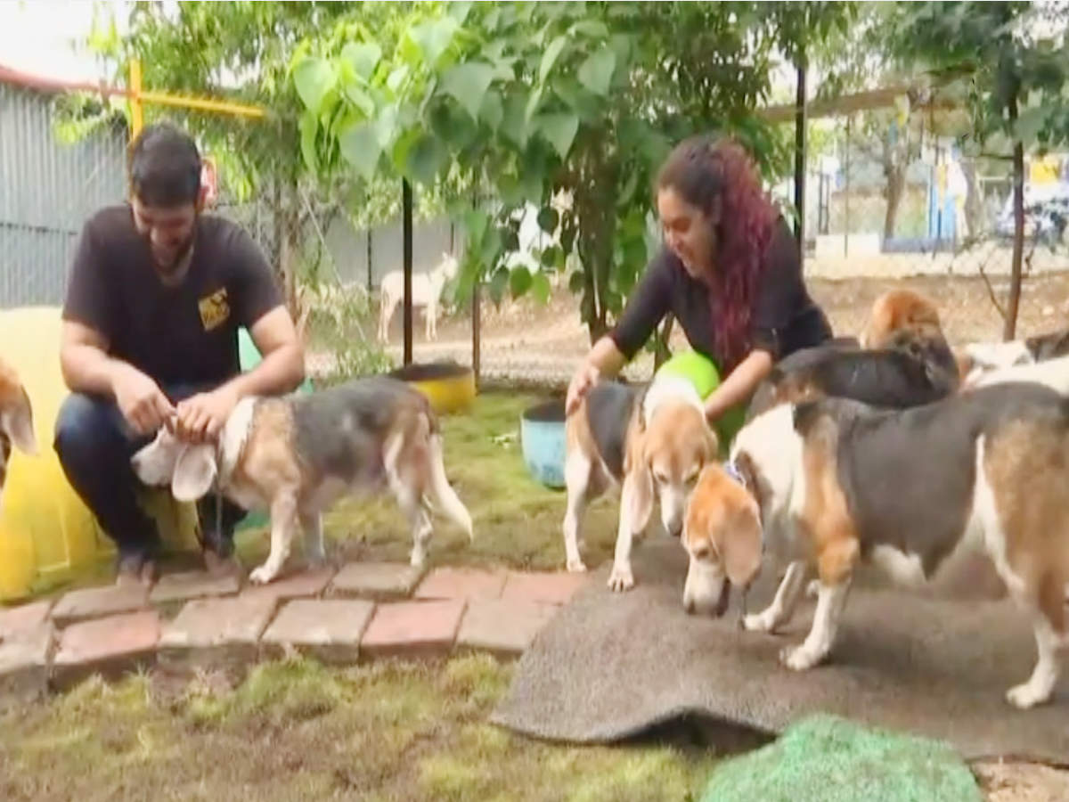 10 Beagle Dogs Walk Their Way To