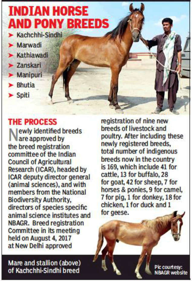 Marwari horse: India's only 'desert horse' gallops into