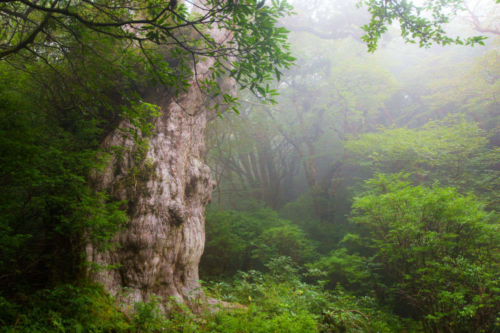 A hike up to Jomon Sugi, a 7200 year old tree on Japan's Yakushima Island