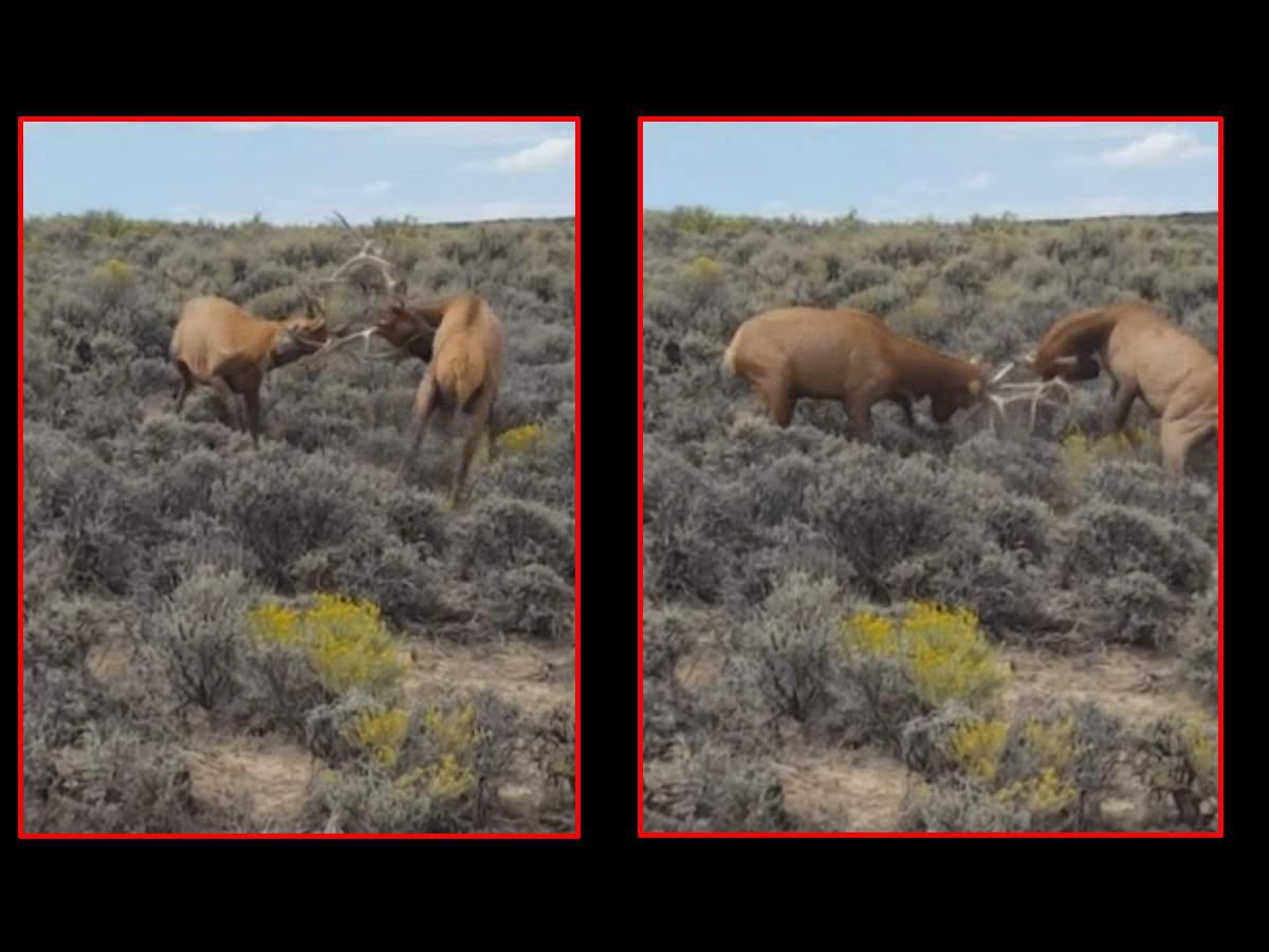 watch-elk-rescued-after-entanglement