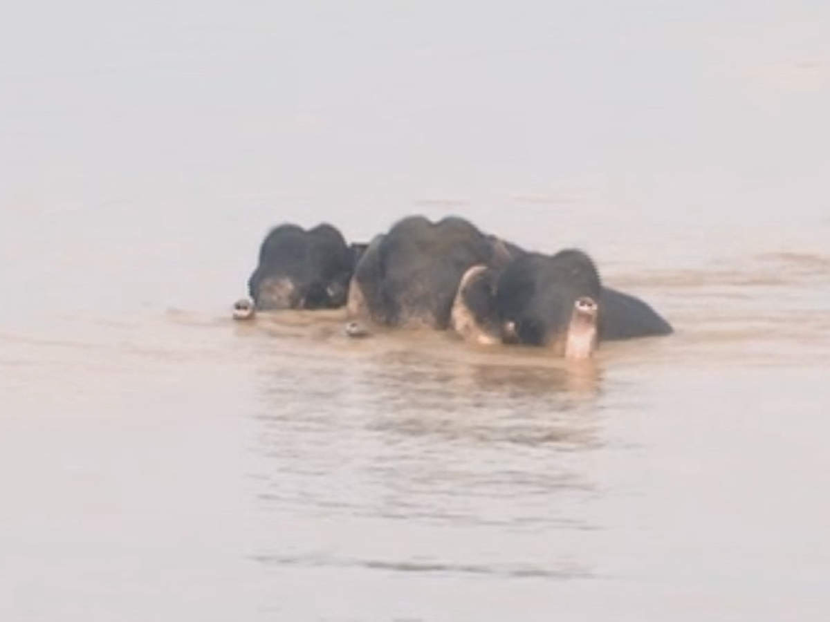 odisha-3-elephants-trapped-in-mahanadi-river-after-floodgates-opened