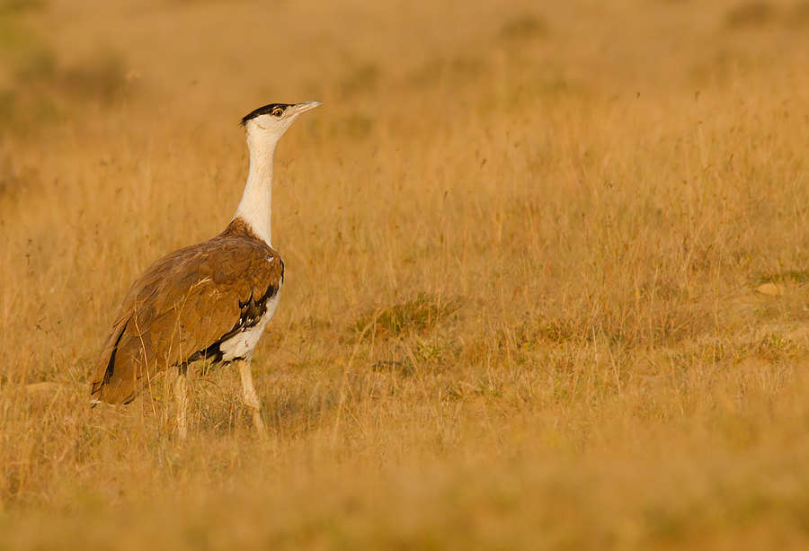 Kutch Bustard Sanctuary: a tryst with the Great Indian Bustard