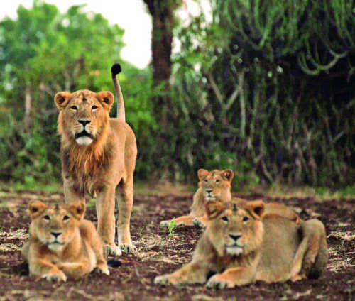 Virus spreads all the way to the death of lions at Gir Govt to SC