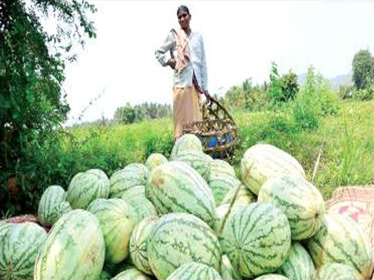 Prized Watermelons Of Parra Reclaim Their Place Under The Sun Goa News Times Of India