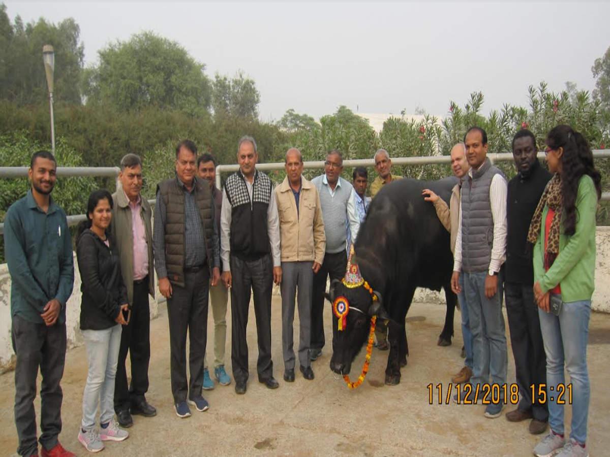 Murrah buffalo clone: 1st clone male Murrah buffalo turns 3