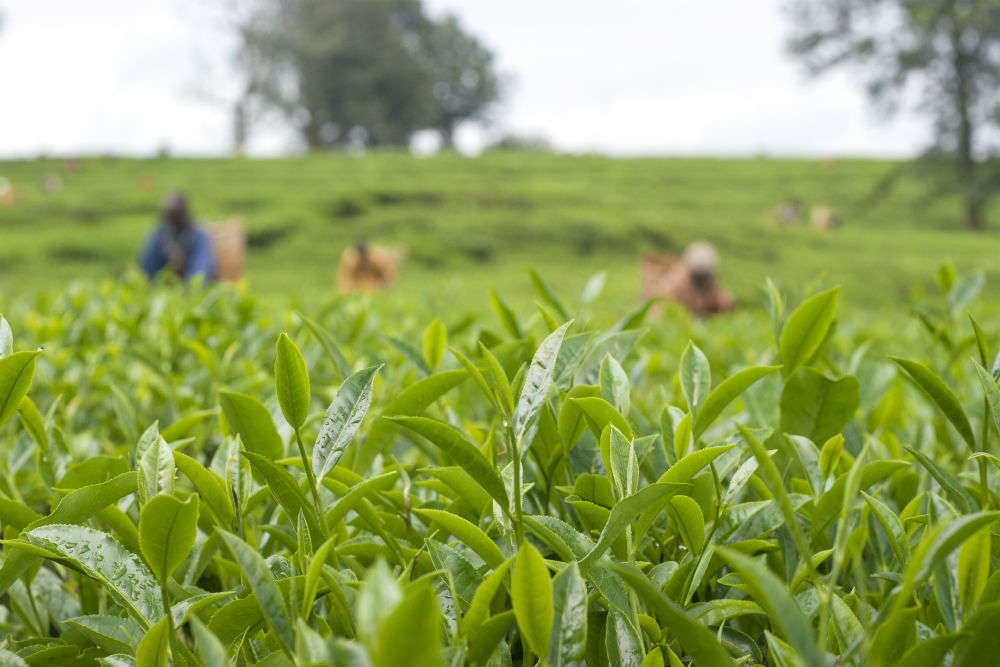 West Bengal to promote tea tourism to support tea gardens