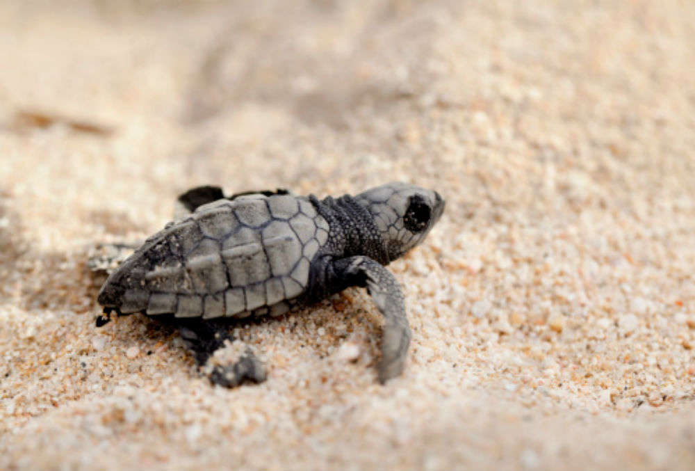 Turtle Tourism likely to be the next big thing in Odisha