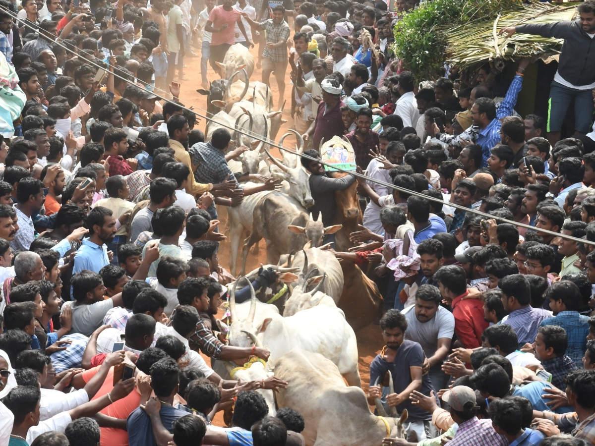Bull run: 'Jallikattu' in Andhra's Chittoor district a big draw