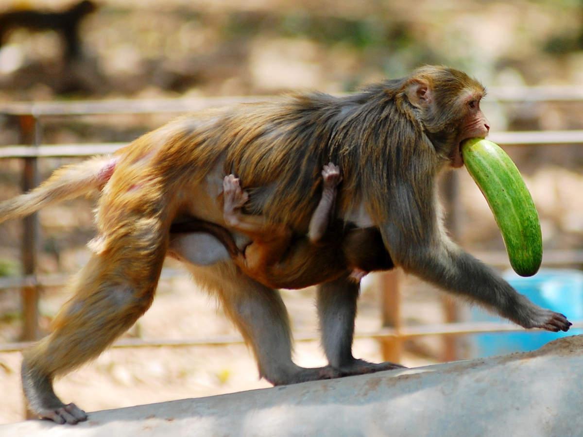 Chandigarh fruit plantation in Sukhna Wildlife Sanctuary to limit deceitful monkeys