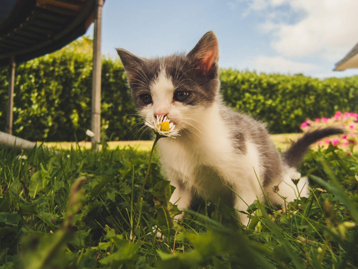 Beware of lily poisoning in cats