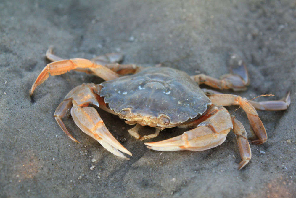 At this Shiva temple in Surat, devotees offer live crabs