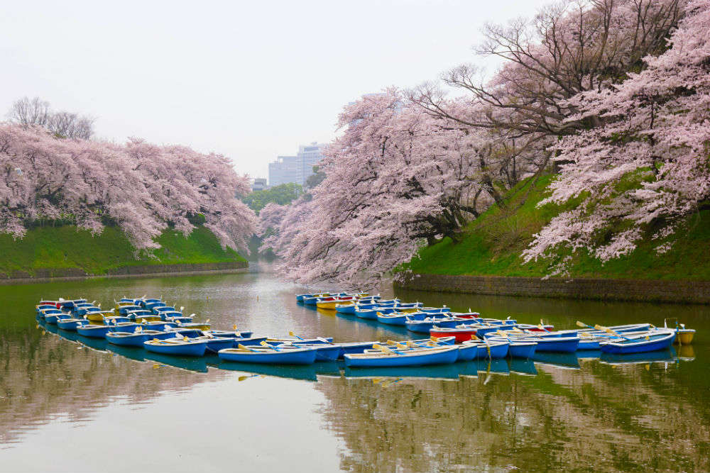 Japan's flower cruise is the best way to witness the beauty of cherry blossoms