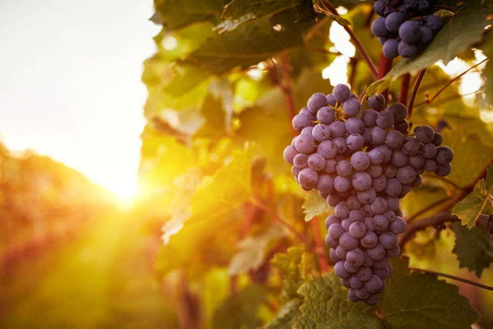 Maharashtra Tourism to host more festivals on the lines of Grape Festival