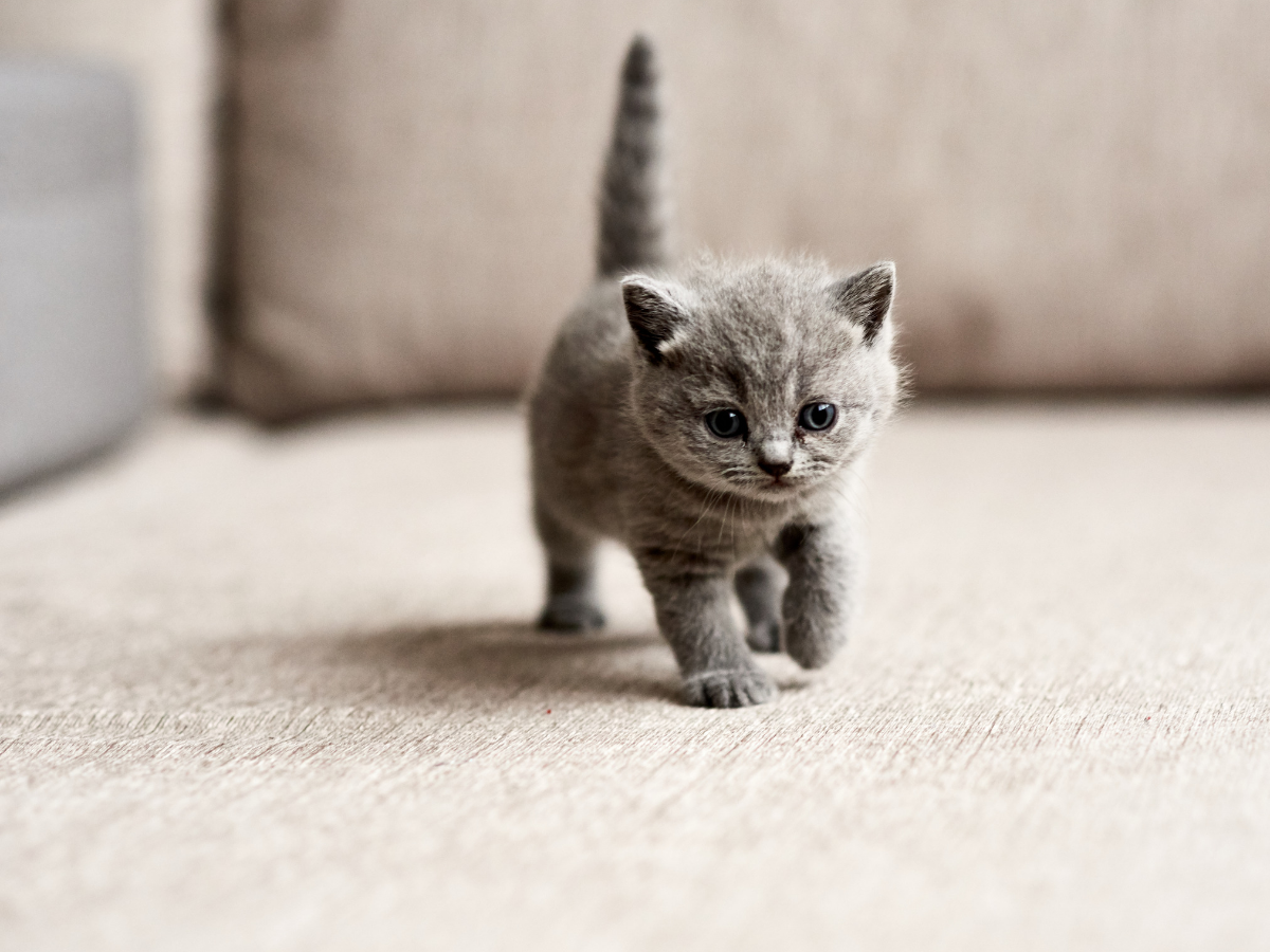 When and how to wean a KITTEN