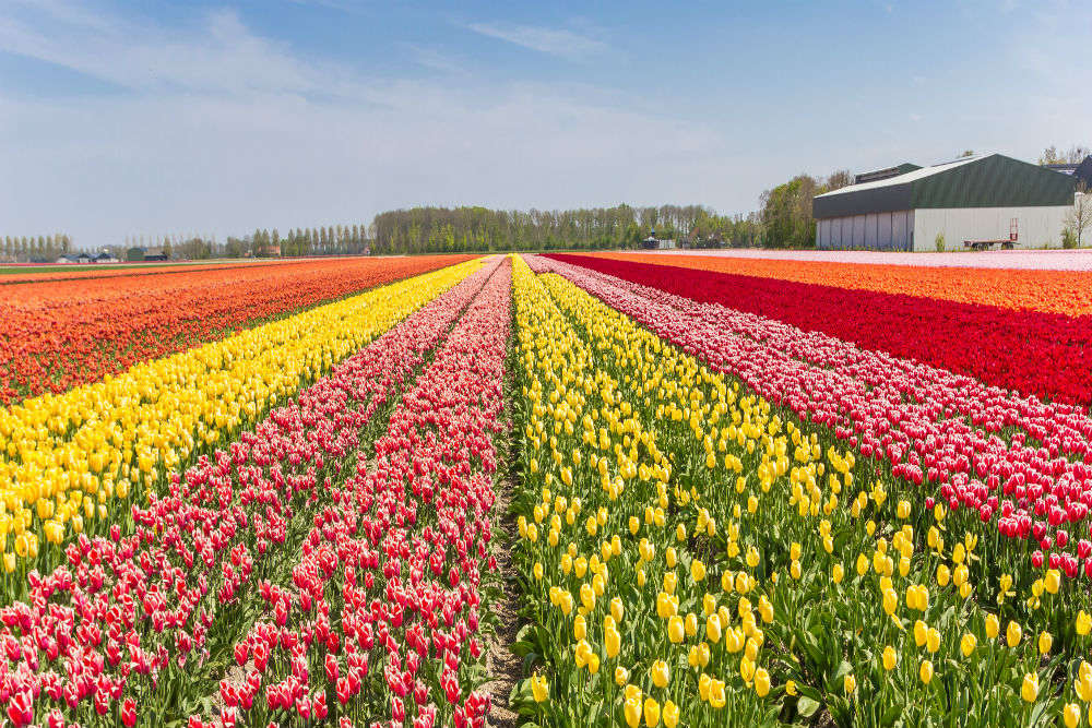 Tulip Festival of Srinagar will remind you of rainbow coming alive on Earth!