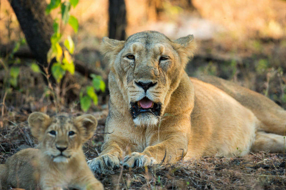 Have you seen the rare Asiatic lions at Gir yet? Plan a visit this time!
