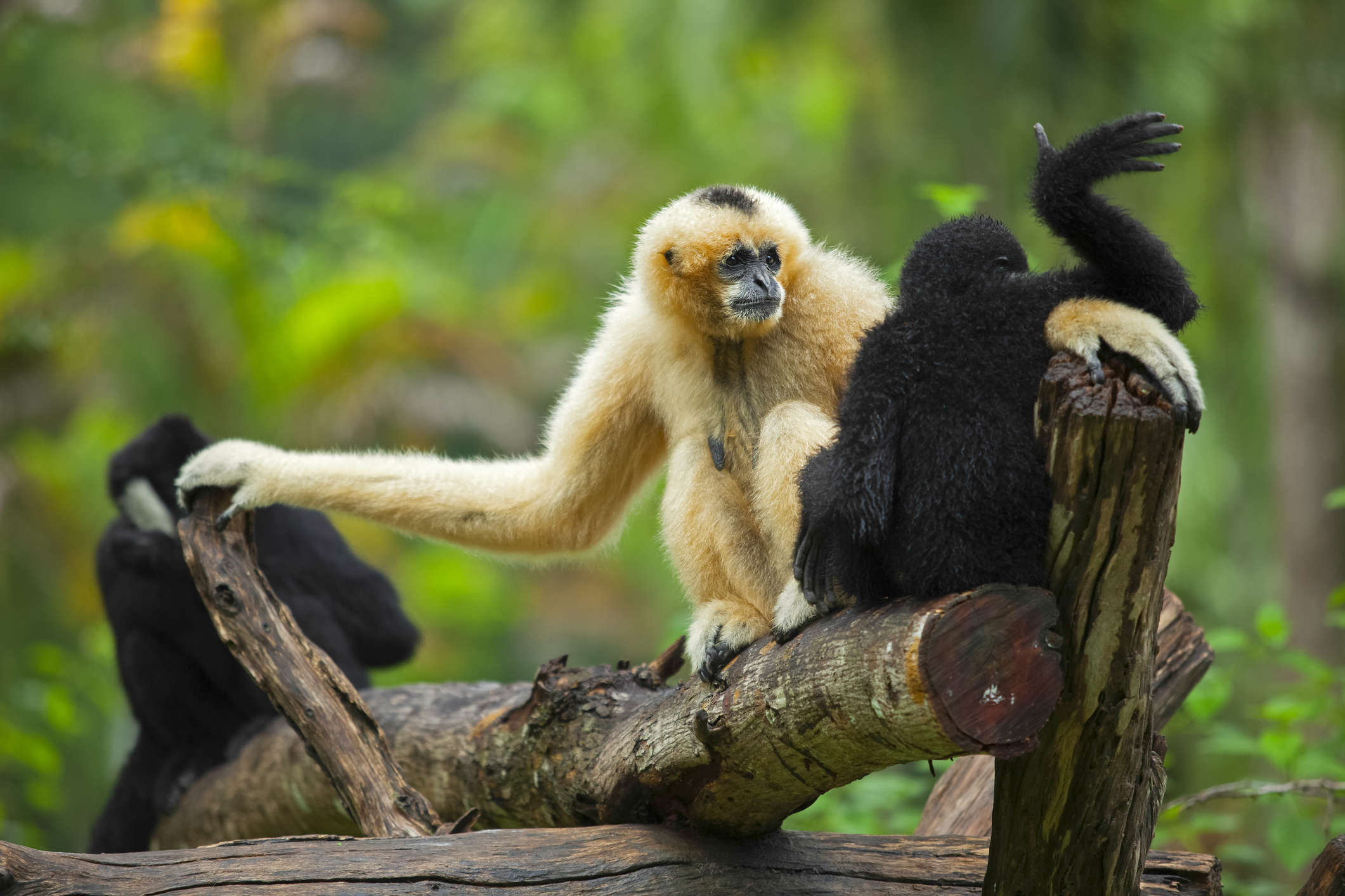 Hoollongapar Gibbon Sanctuary, where you can spot India's only ape species