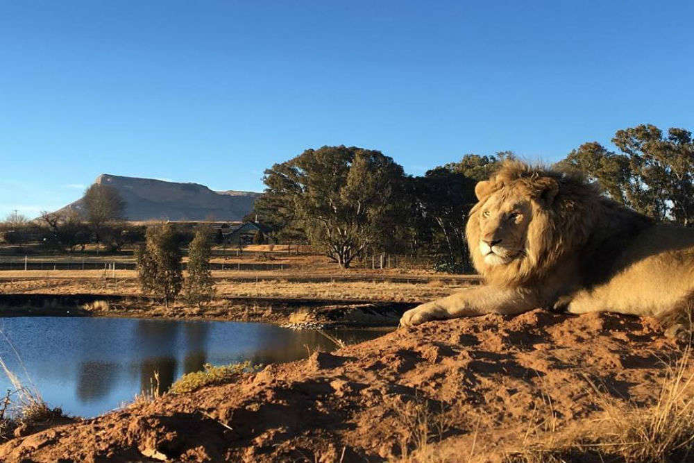 This Lion House in South Africa lets you stay amidst wild lions!