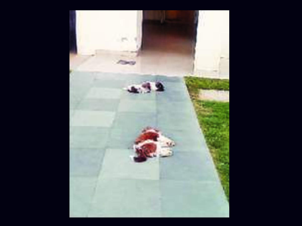 2 Shih Tzu Puppies Fall To Death From Gurugram S 8th Floor Flat Owner Under Probe Gurgaon News Times Of India