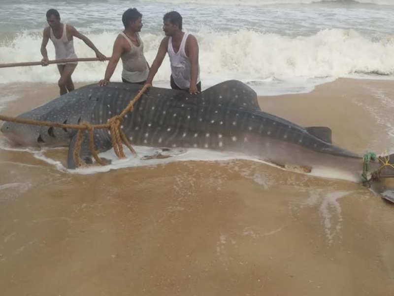 Whale shark washed ashore in Mangaluru