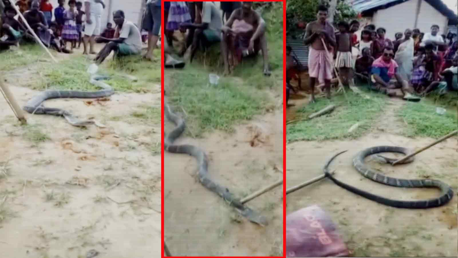 on-cam-10-ft-long-king-cobra-rescued-in-assams-cachar