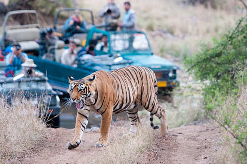 Sariska Tiger Reserve to open new and more thrilling safari routes