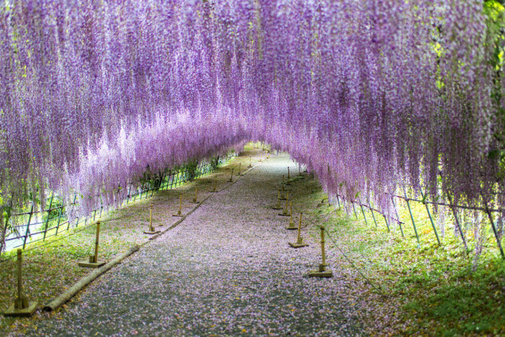 Wisteria Tunnel in Japan is a world of wonder, these pictures are proof