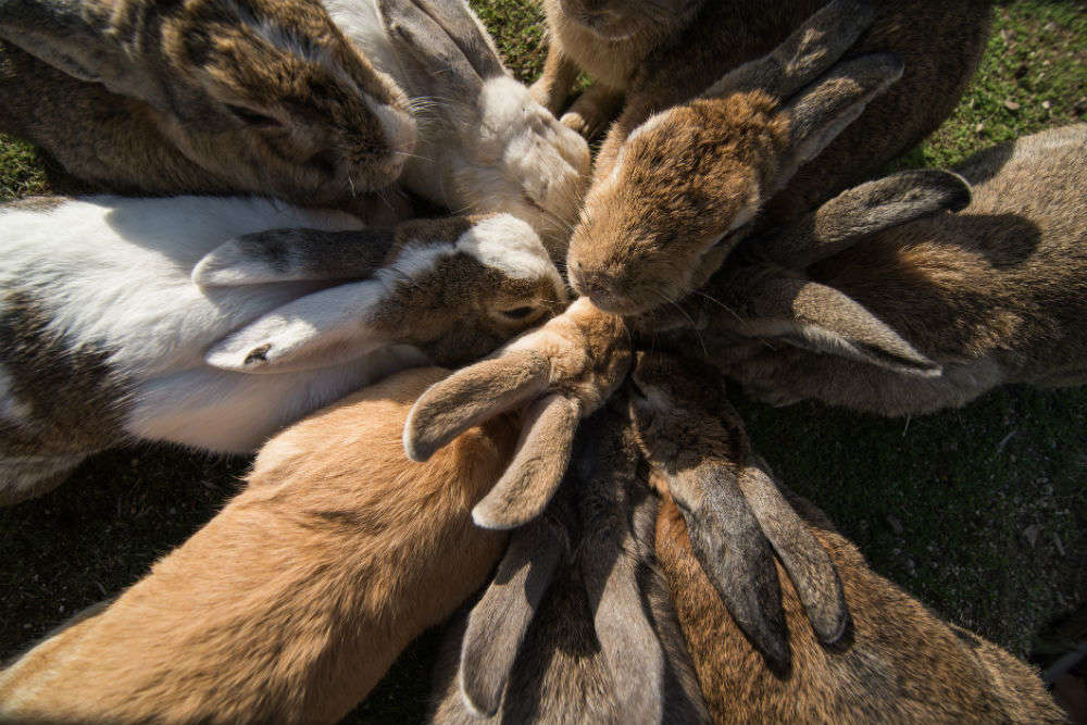 Discovering Okunoshima, Japan's island of rabbits that was hidden for a long time