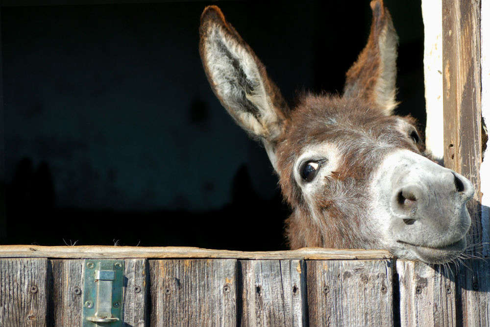 Would you pay $1130 to buy 1 kg of donkey cheese?