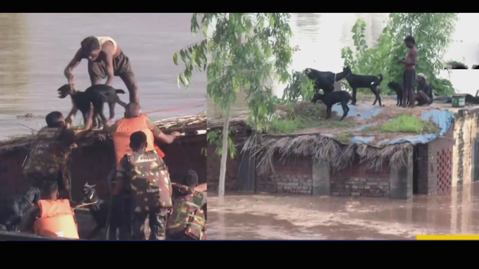 watch-army-team-rescues-goats-from-rooftop-of-submerged-house-in-punjab
