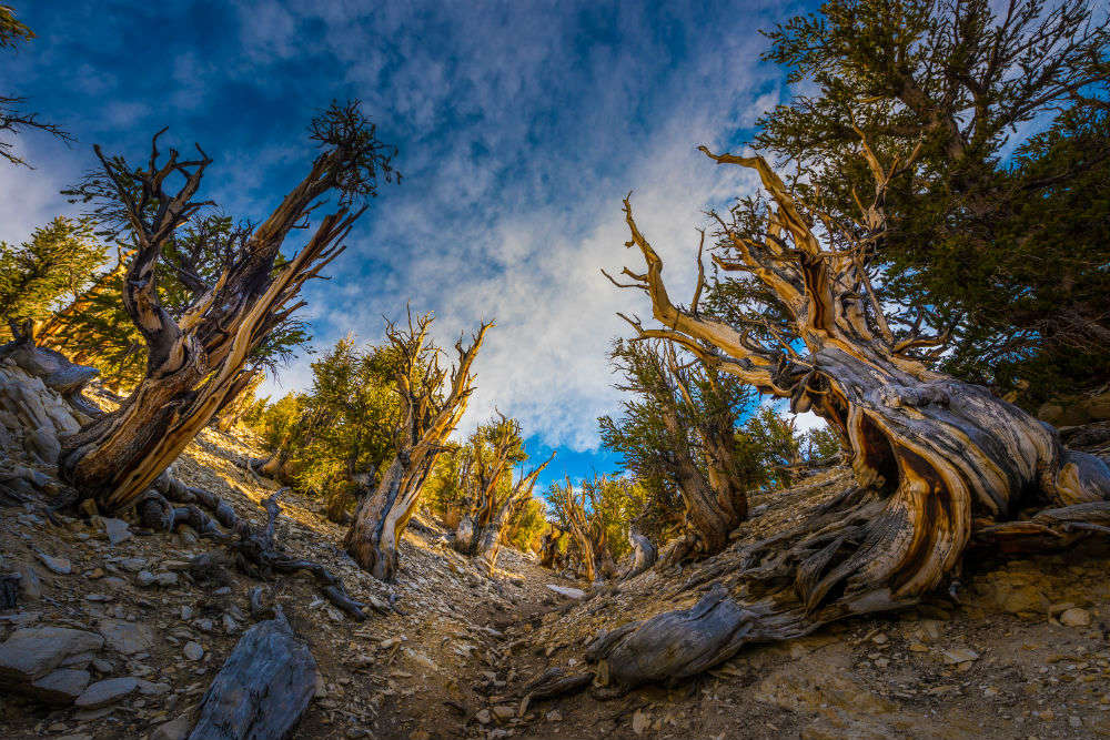 All about Bristlecone Pines, the oldest tree species on the planet