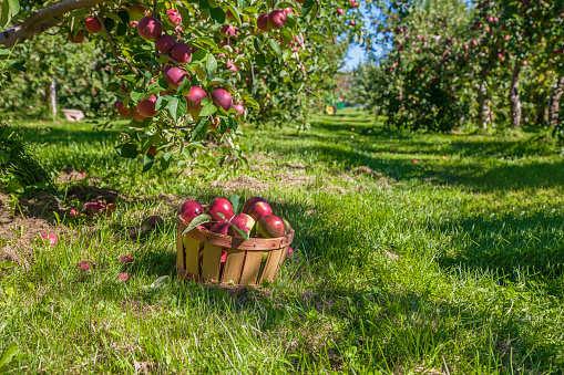 Himachal Pradesh to host Apple Fest from Sep 27